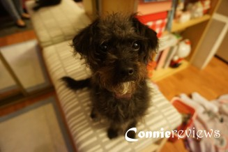 Oreo Miniature Poodle Mix